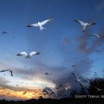 Wake Island Birds